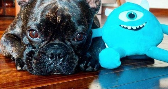 9 French Bulldogs Who Love Toys Just Like You Bulldogology