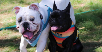 English Bulldogs and Frenchies