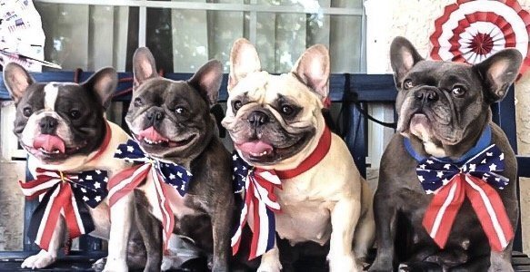 4frenchbulldogs 4thofJuly