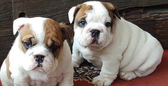 two-englishbulldogs-on-carpet