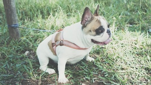 French bulldog potty training schedule