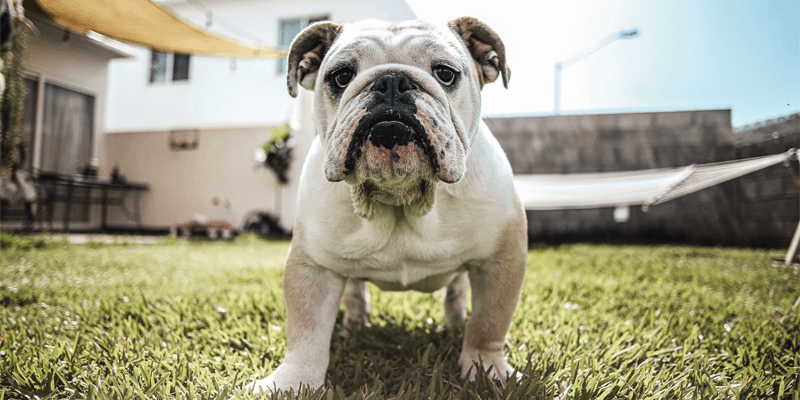best ways to clean English bulldog pee