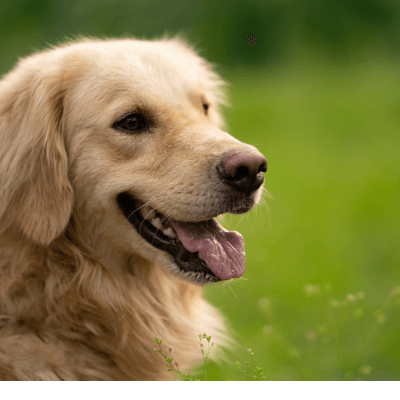 golden retriever 1 12 Best Dogs for First Time Owners - Which Breed Fits You?
